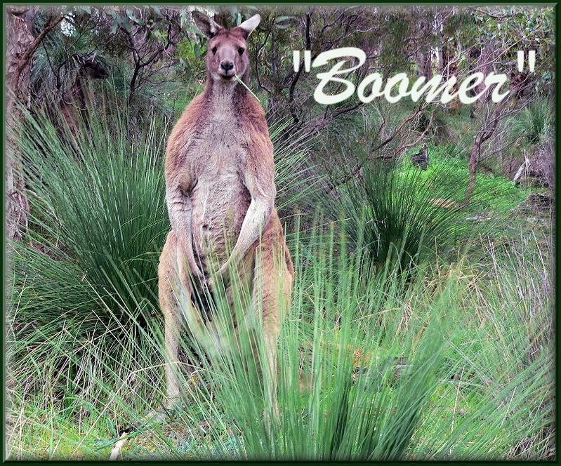 how old is a mature kangaroo